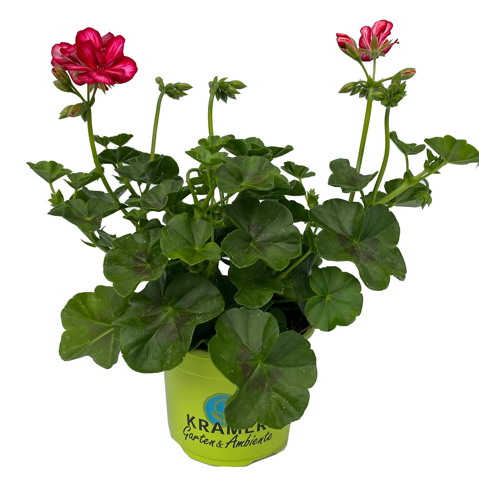 Geranie hängend - Pelargonium peltatum 'Sunflair Lollipop Chris' rot/weiß, 12cm Topf