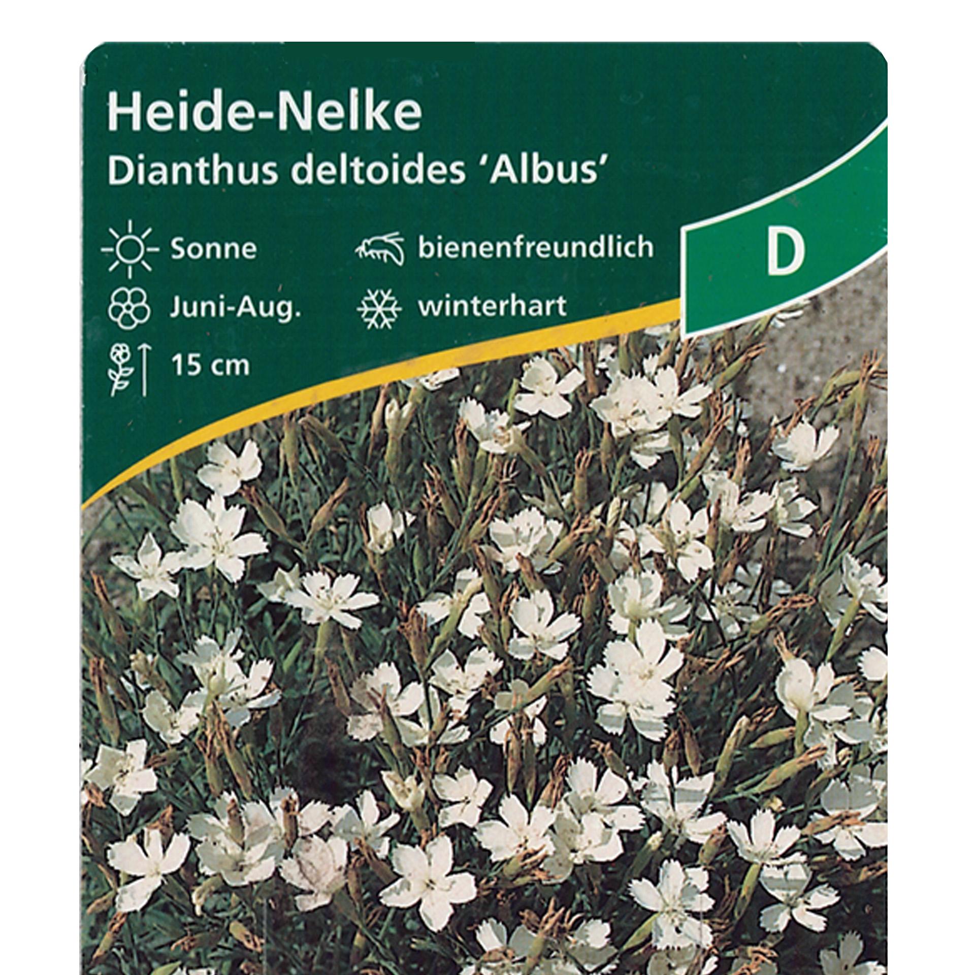 Heidenelke – Dianthus deltoides 'Albus' weiß, 11cm Topf