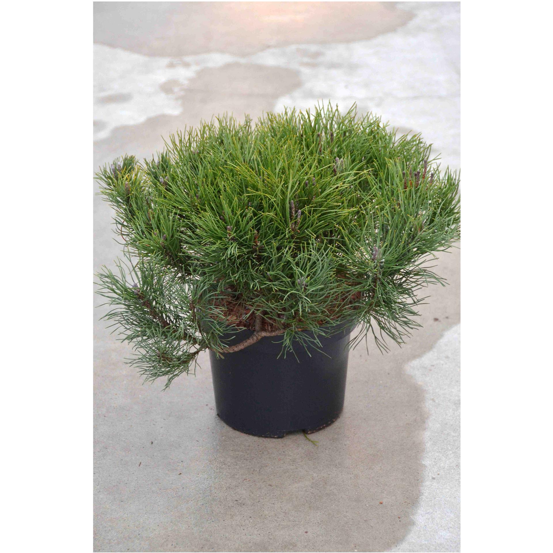 Zwergkiefer - Pinus mugo mughus, 25-30cm