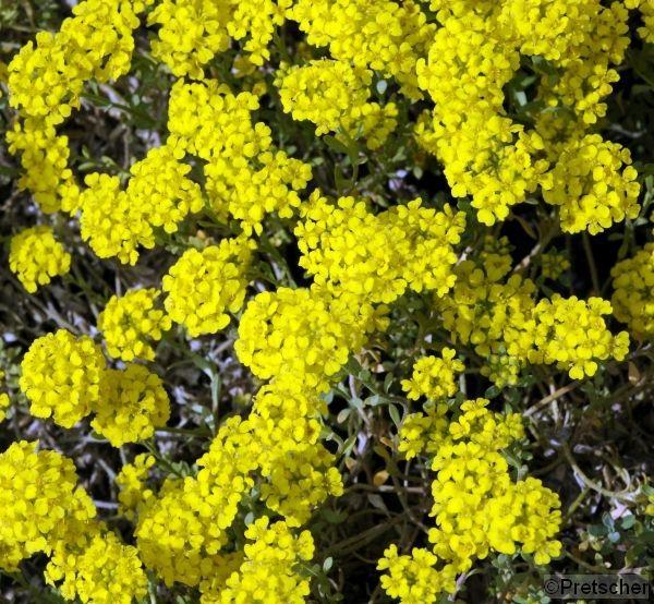 "Alyssum montanum ""Berggold"""