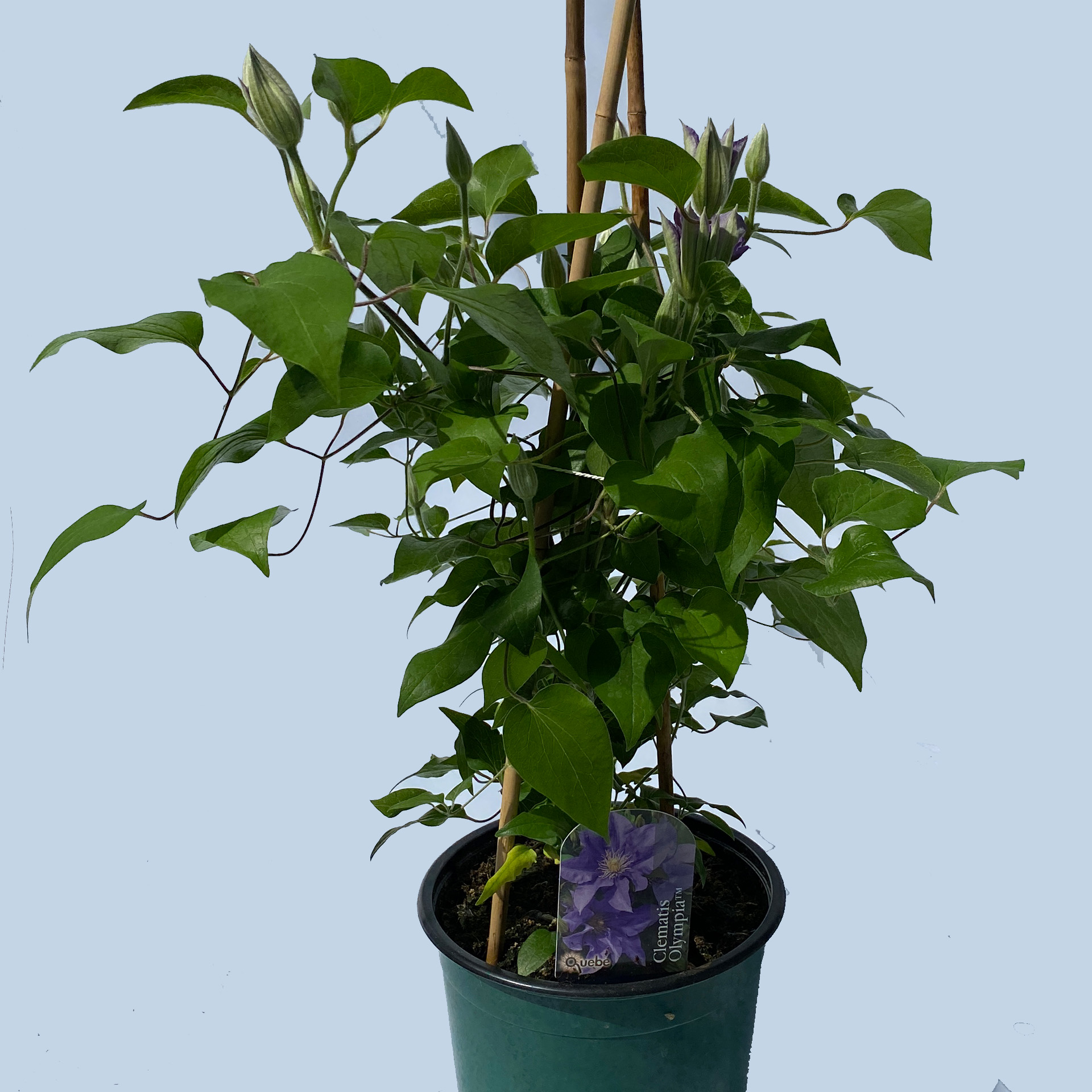 Clematis / Waldrebe 'Olympia Milka' lila, 19cm Topf