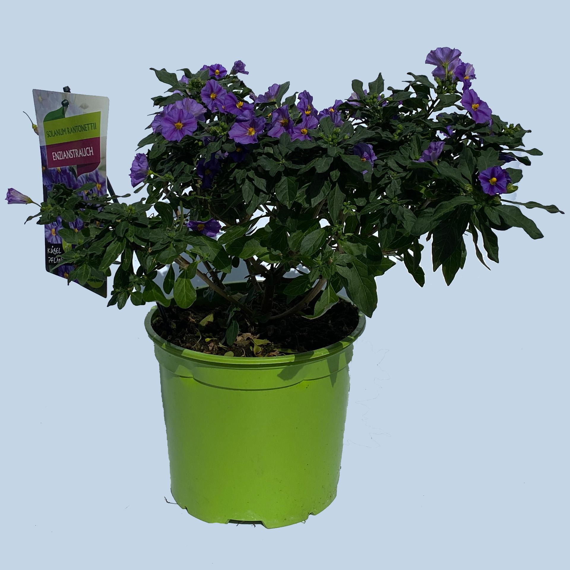 Enzianstrauch - Solanum rantonettii blau, 19cm Topf
