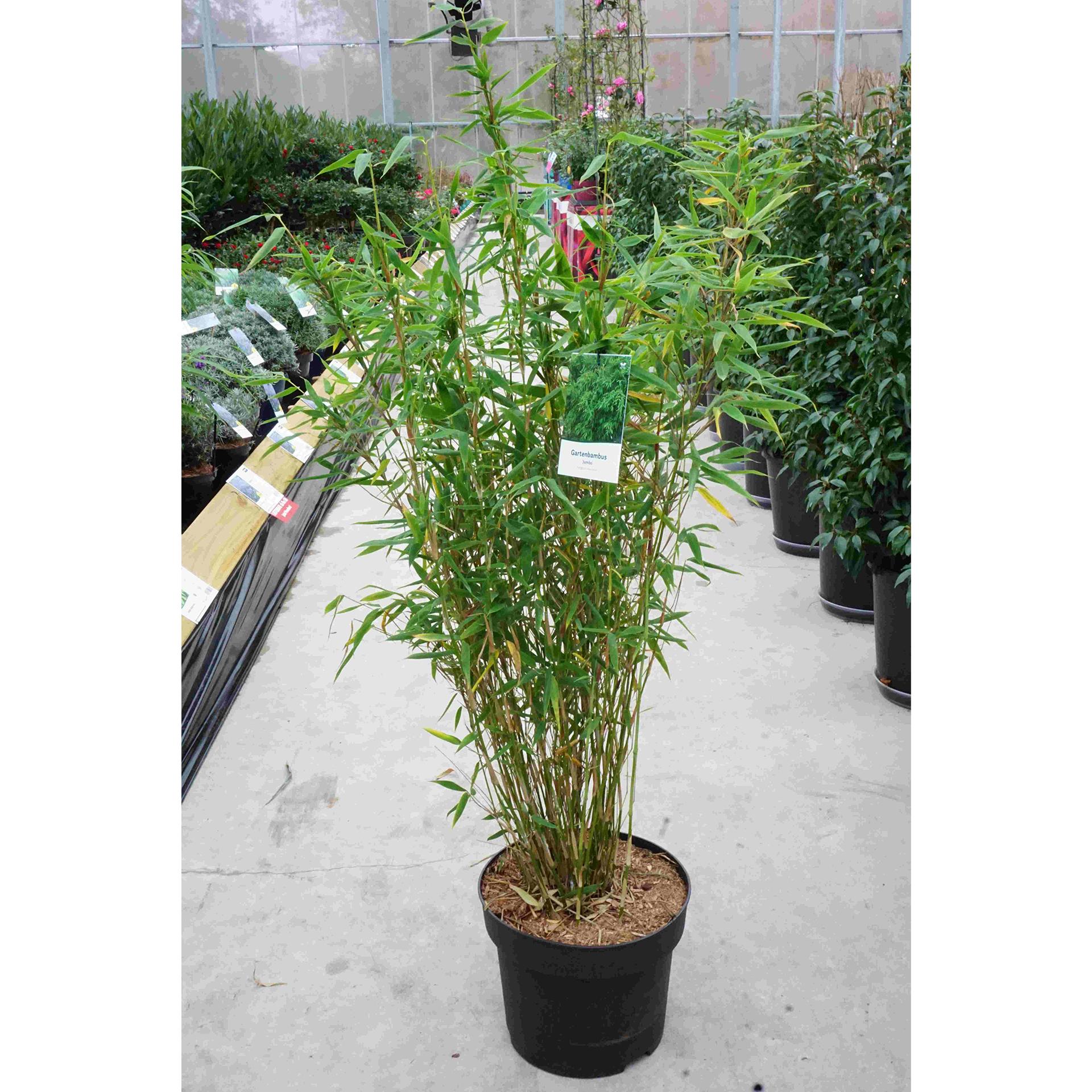 Gartenbambus - Fargesia muriale 'Jumbo', C10 100-125cm