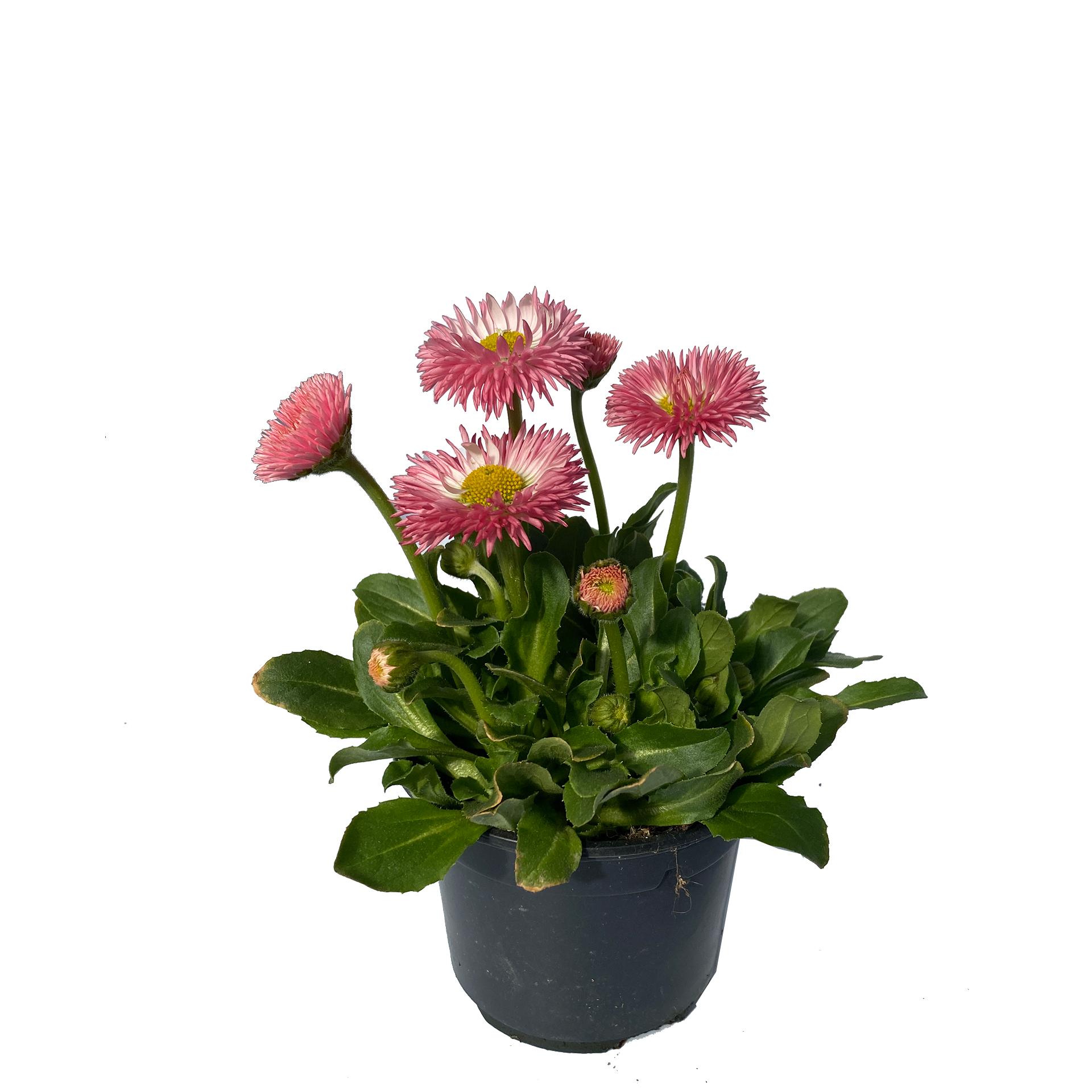 Gänseblümchen Bellis - Bellis perennis, rosa, 11cm Topf