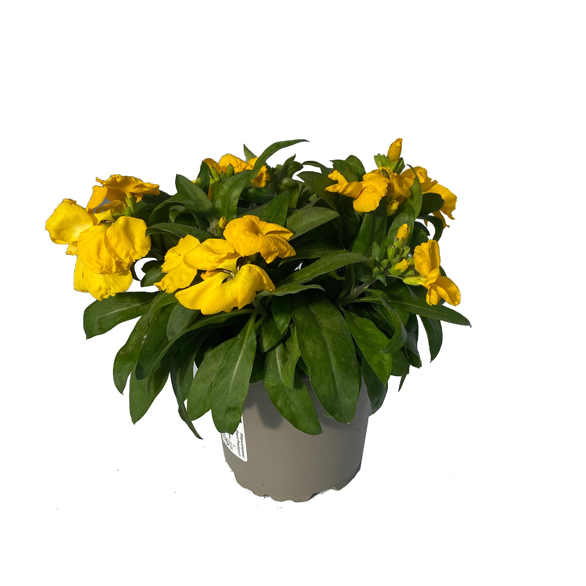 Goldlack - Erysimum cheiri, gelb, 11cm Topf