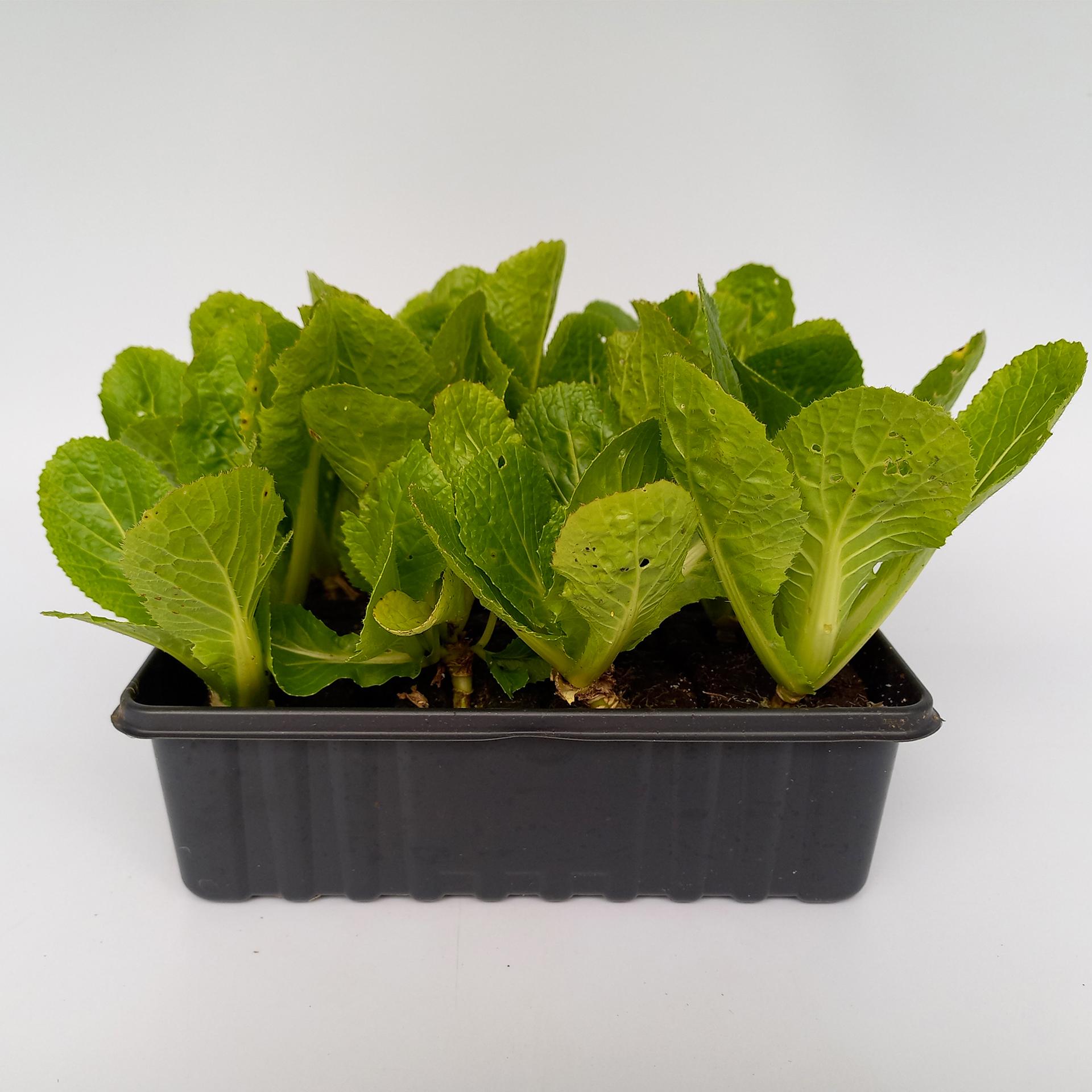 Chinakohl Salatpflanzen