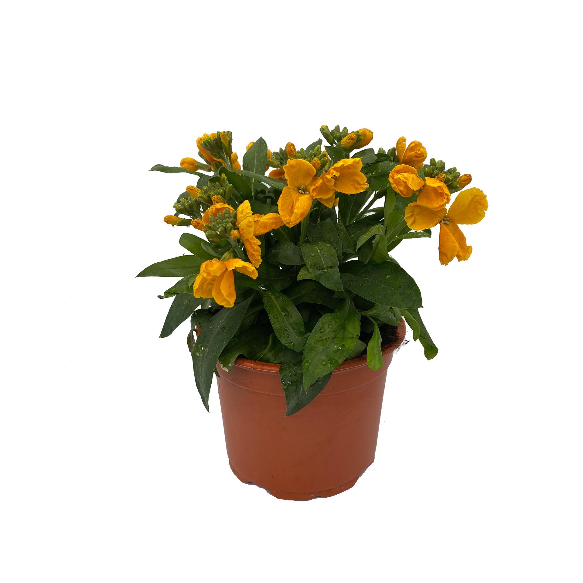 Goldlack - Erysimum cheiri gelb, 13cm Topf