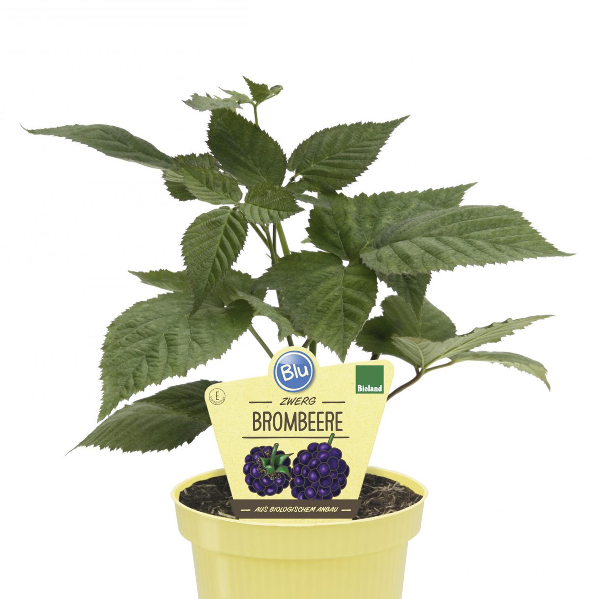 BIO Zwerg-Brombeere - Rubus fructicosus 'Little Black Prince', 12cm Topf
