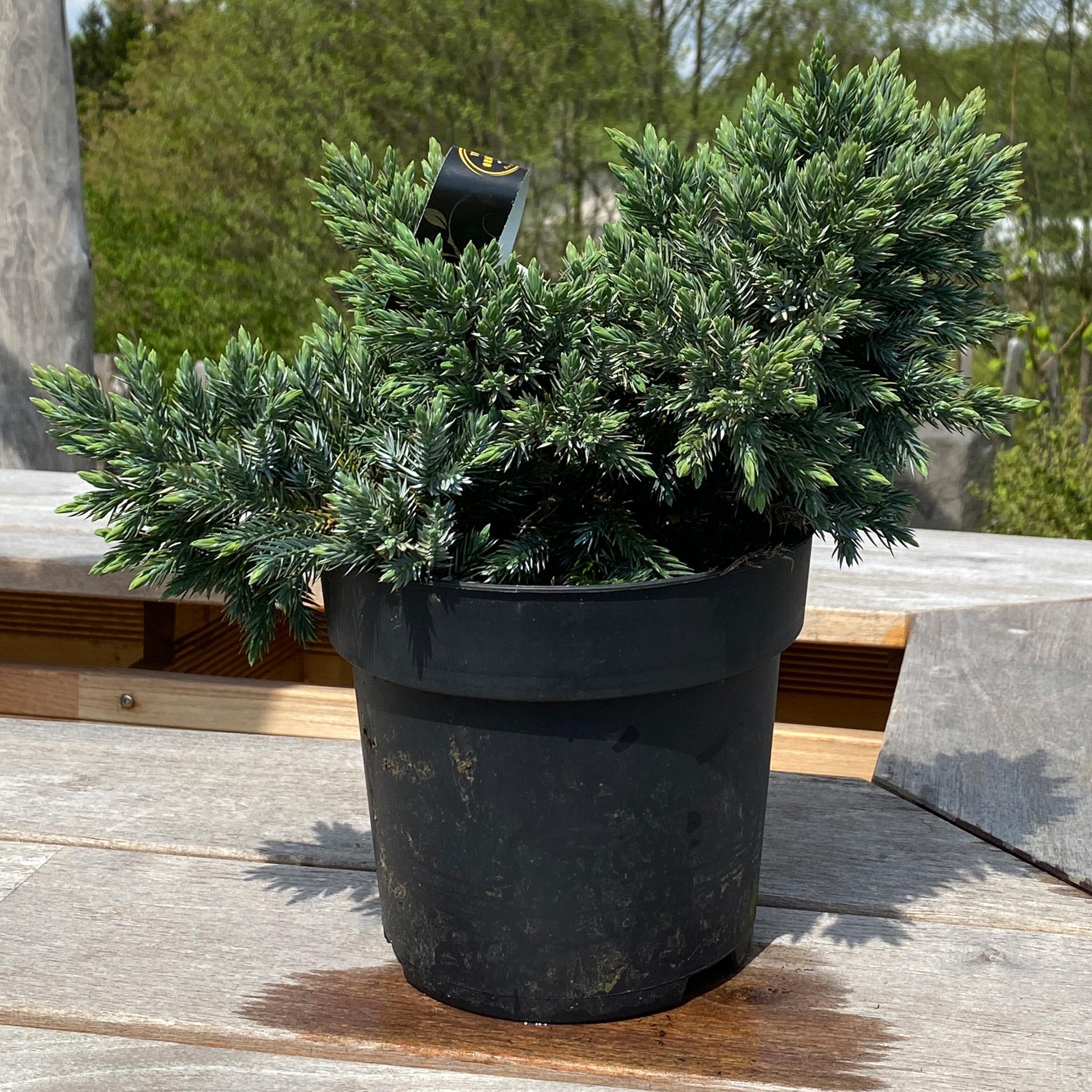 Blauer Zwergwacholder – Juniperus squamata 'Blue Star', C2,3