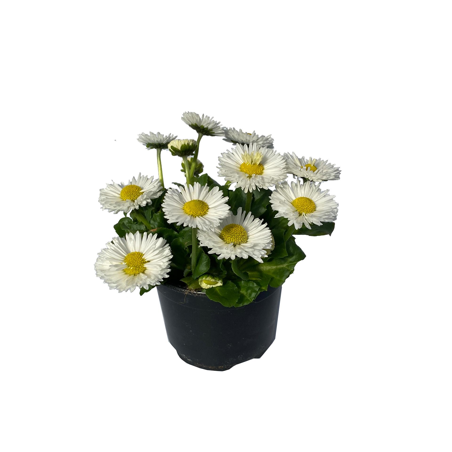 Gänseblümchen Bellis - Bellis perennis,  weiß, 11cm Topf
