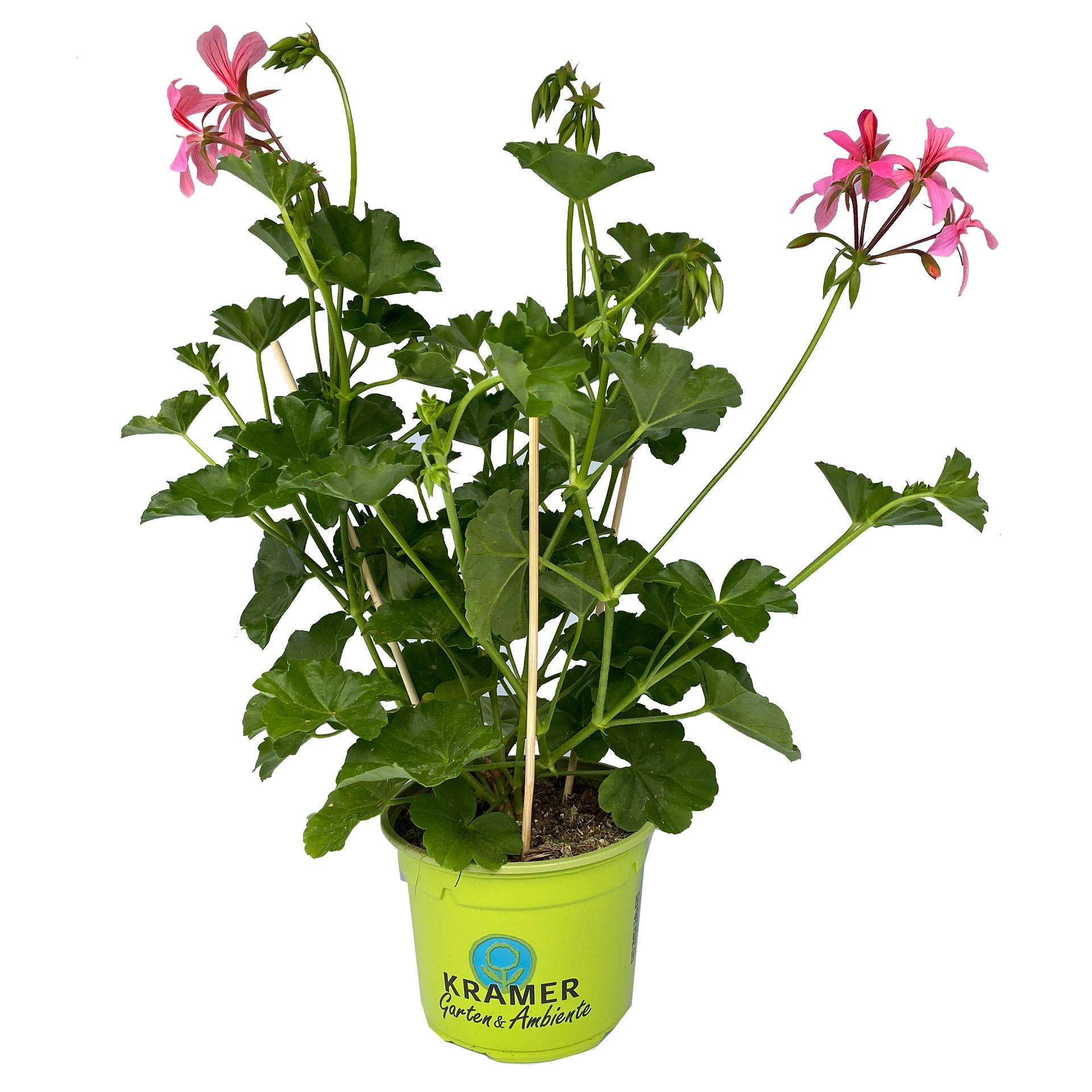 Geranie hängend - Pelargonium peltatum 'Ville de Paris Rosa', 12cm Topf