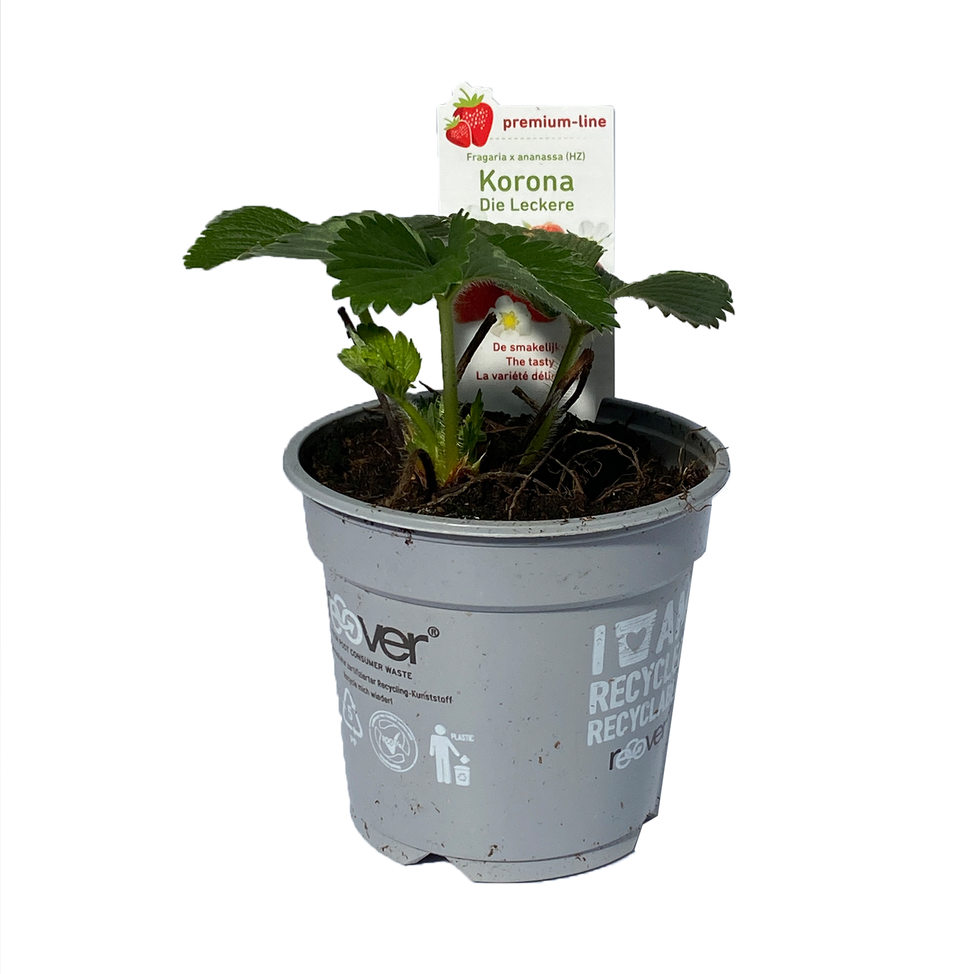 Erdbeerpflanze Korona - Fragaria ananassa, 9cm Topf