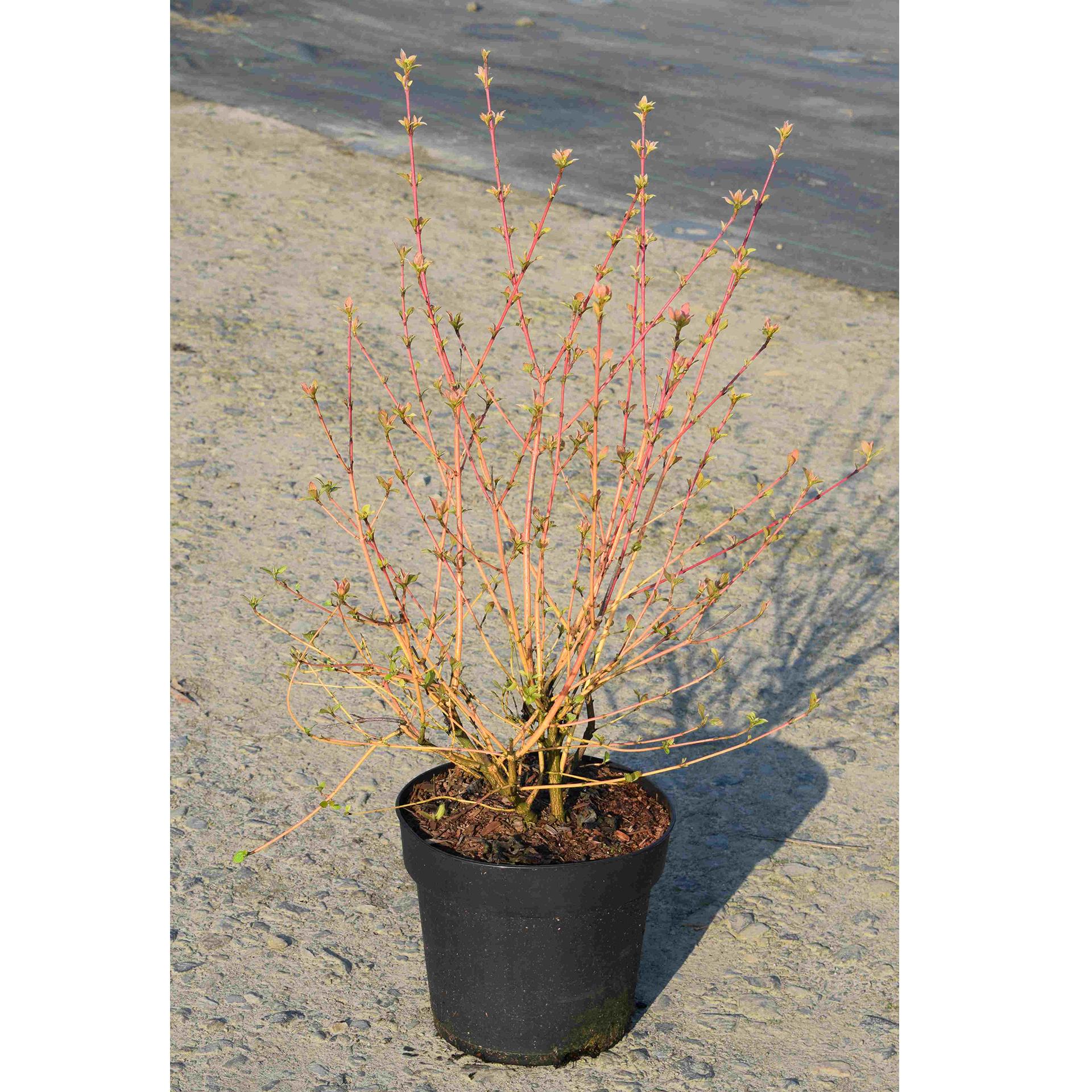 Hartriegel - Cornus sanguineum 'Wintersun', 50-60cm