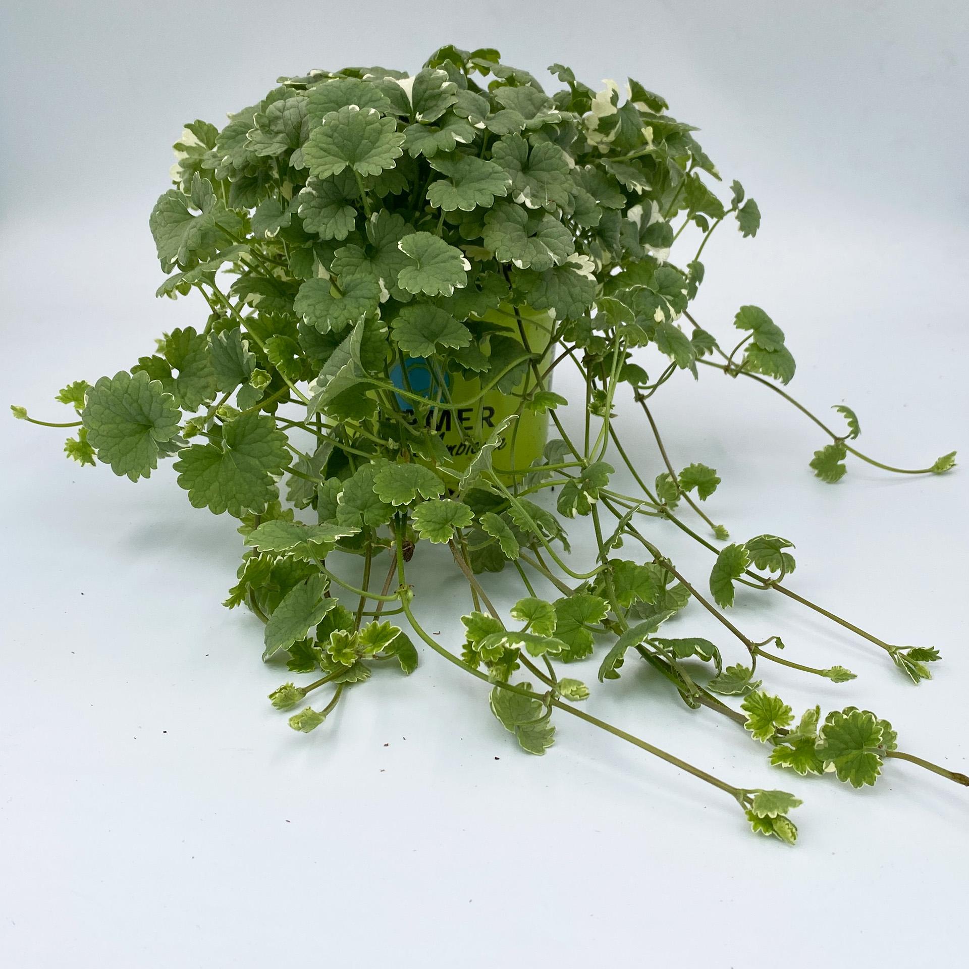 Gundermann - Glechoma hederacea 'Variegata' weiß-bunt, 12cm Topf