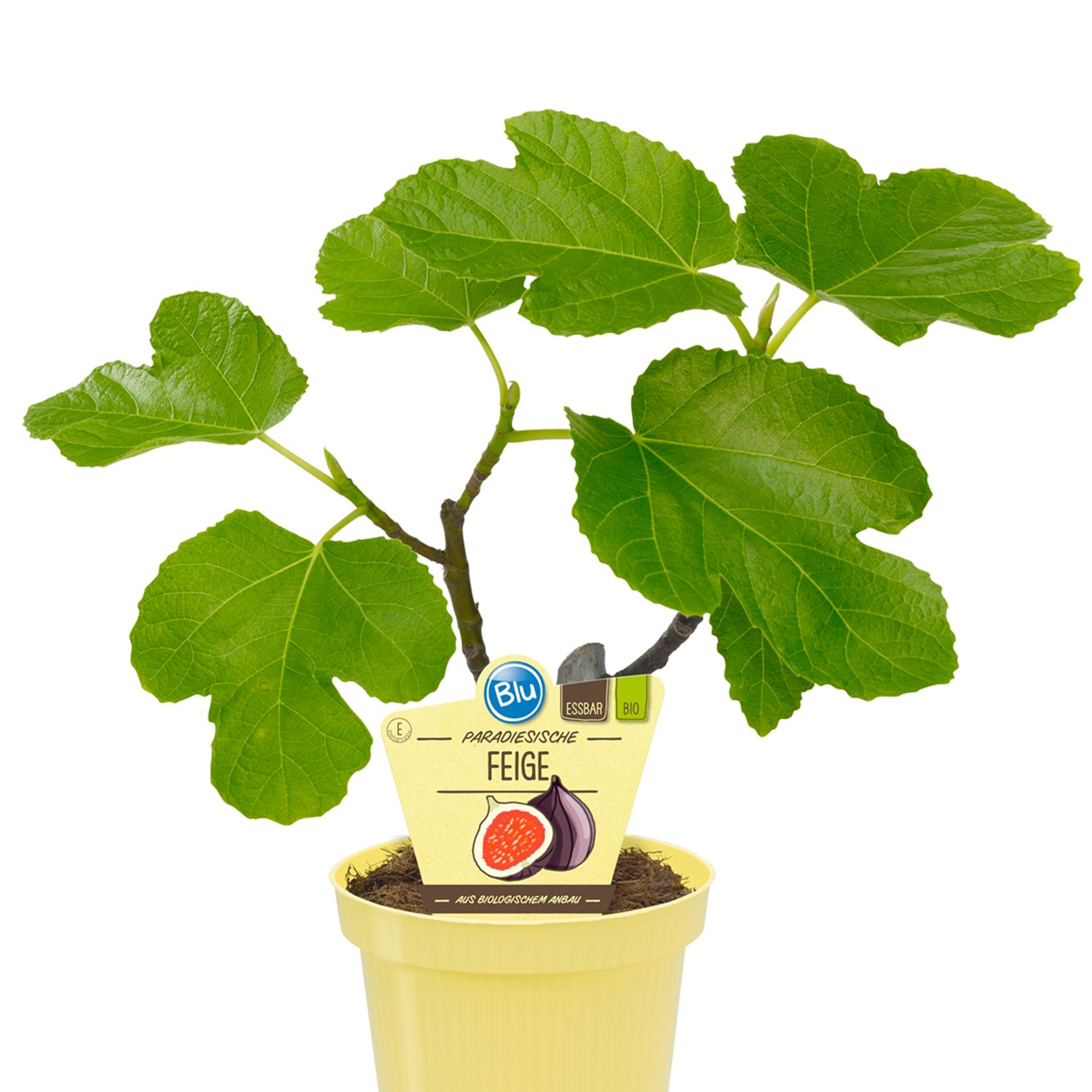 BIO Feige - Ficus carica, 12cm Topf