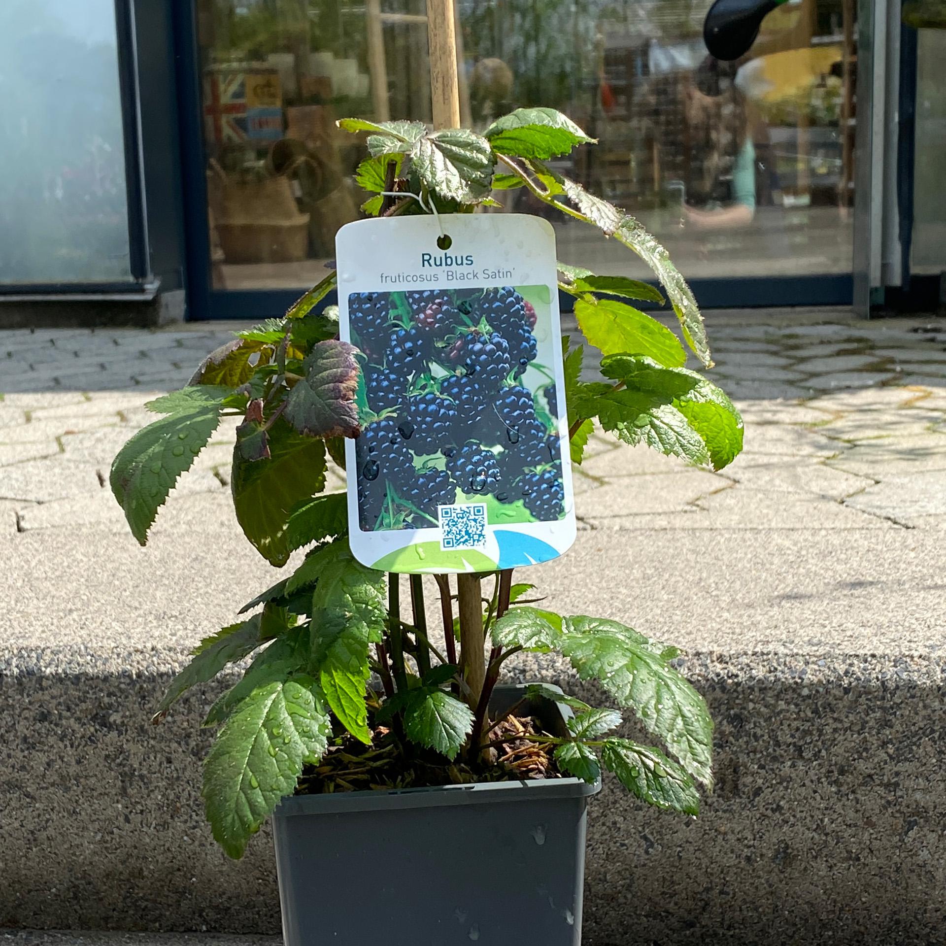 Dornenlose Brombeere - Rubus fruticosus 'Black Satin', C2eck