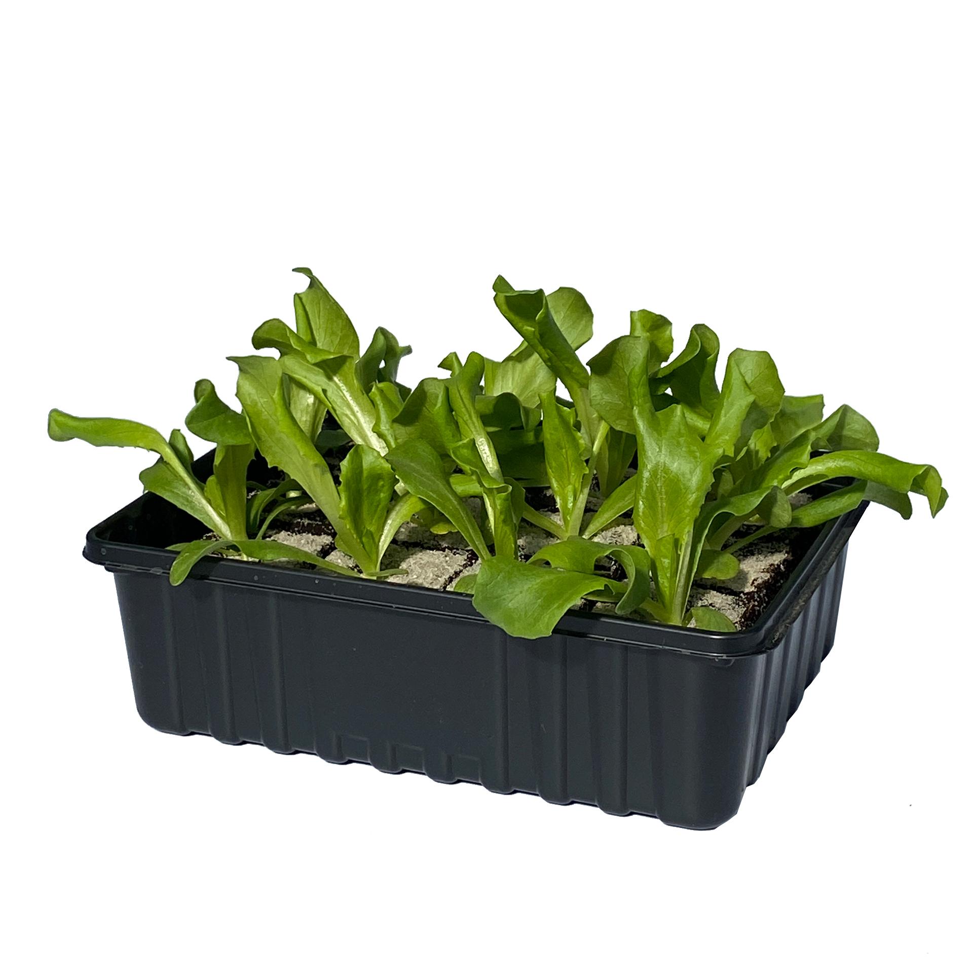 Eissalat - Salatpflanzen Schale 12er