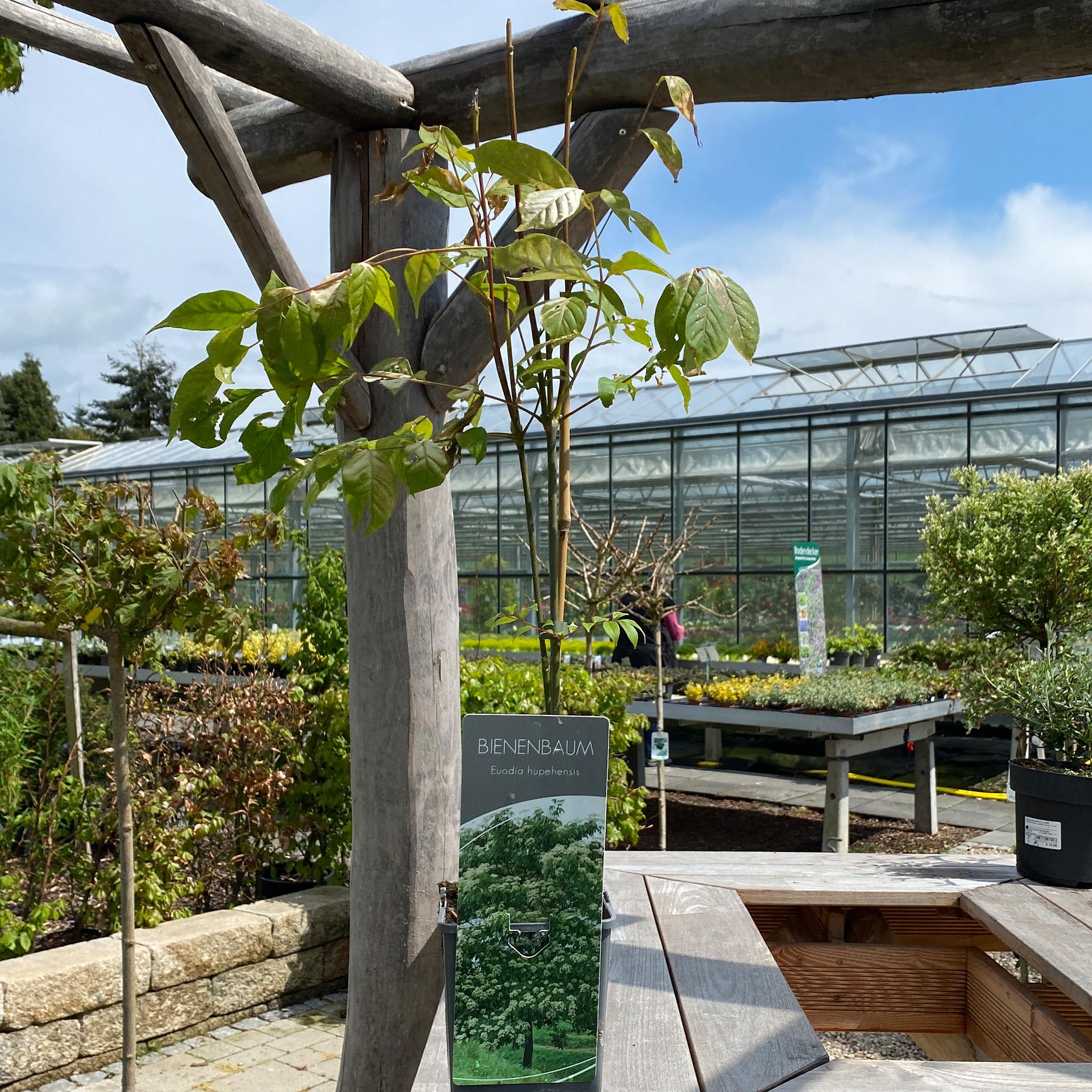 Bienenbaum – Euodia hupehensis, C2eck