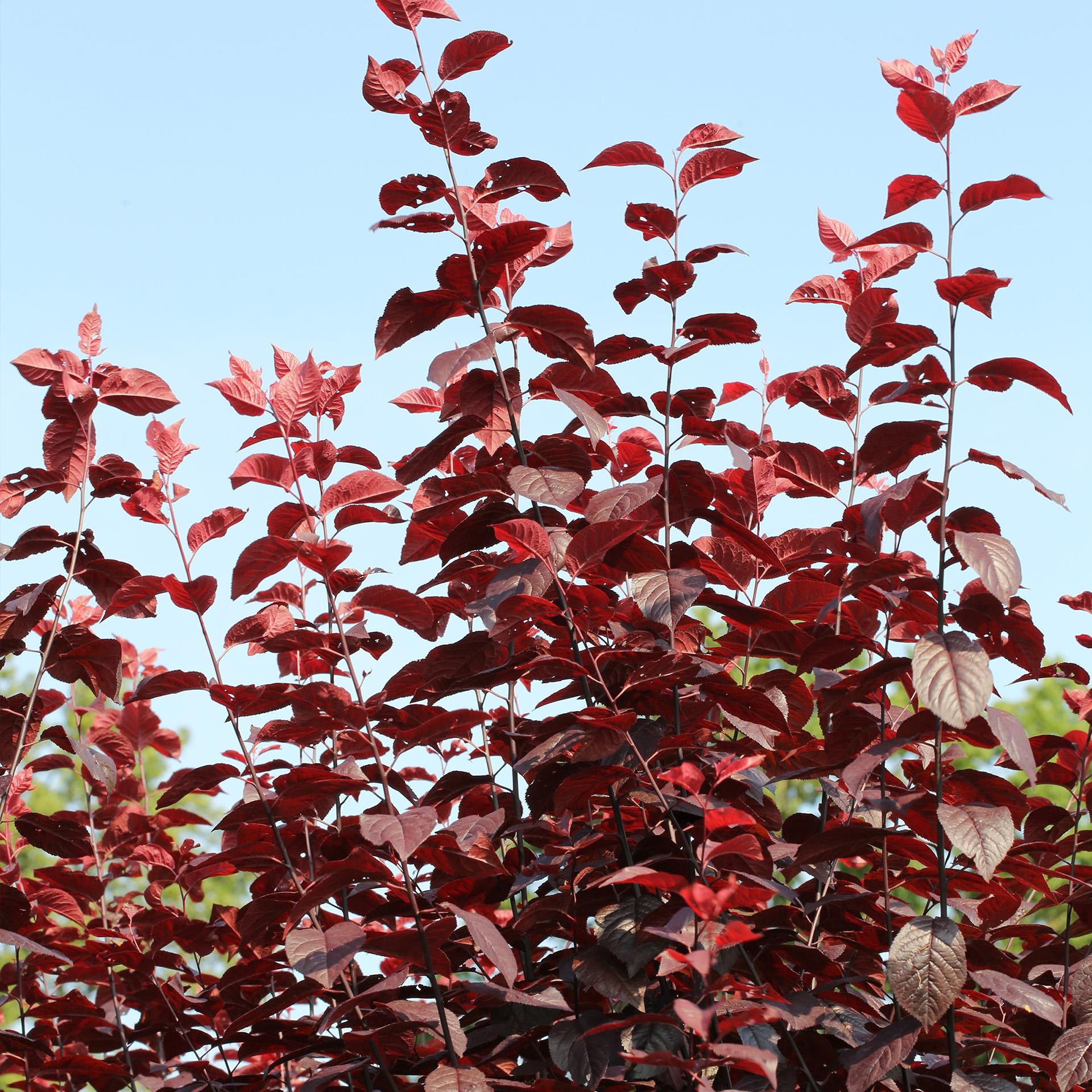 Blutpflaume  - Prunus cerasifera 'Nigra', C10 100-125cm