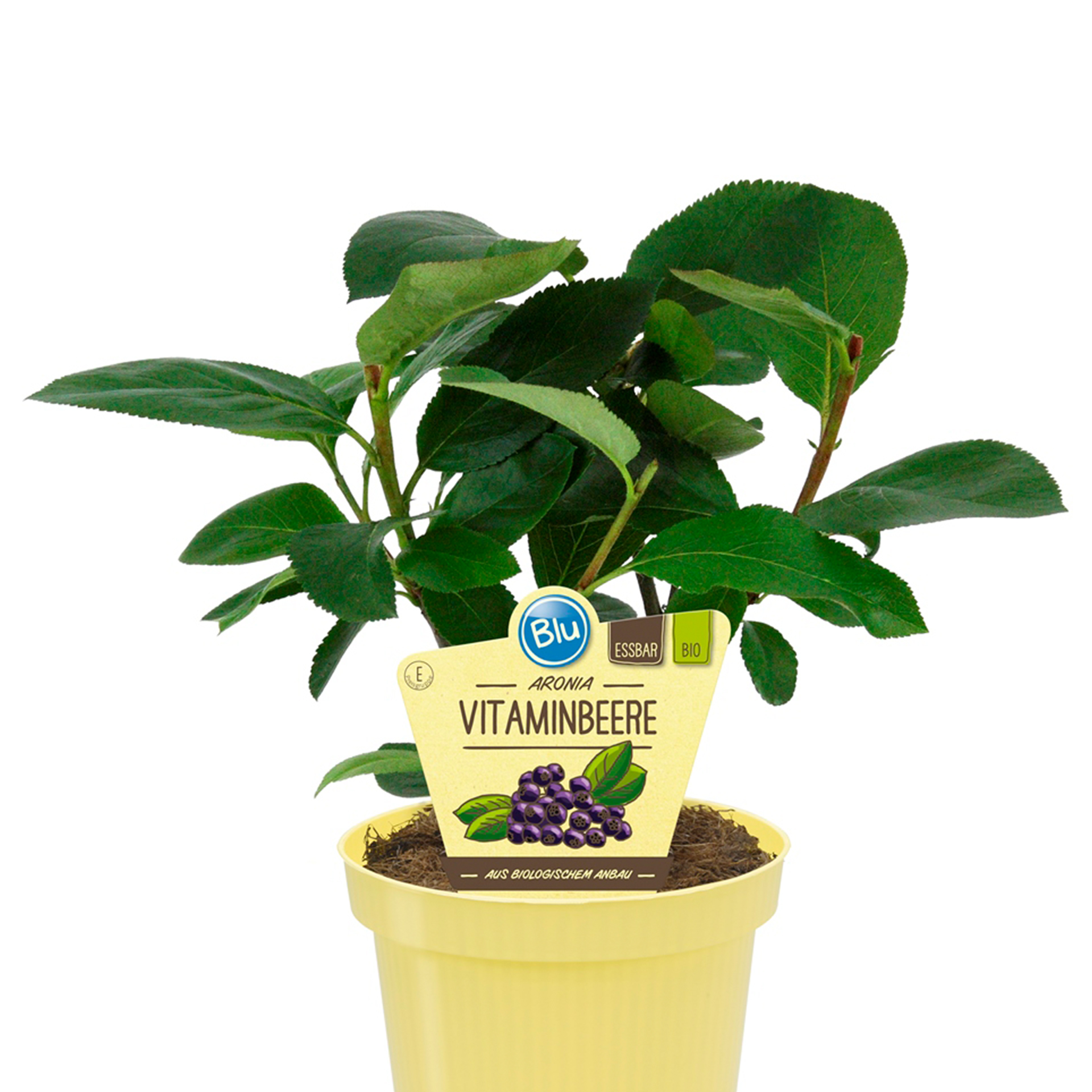 Aronia Vitaminbeere - Aronia Melanocarpa PG-E