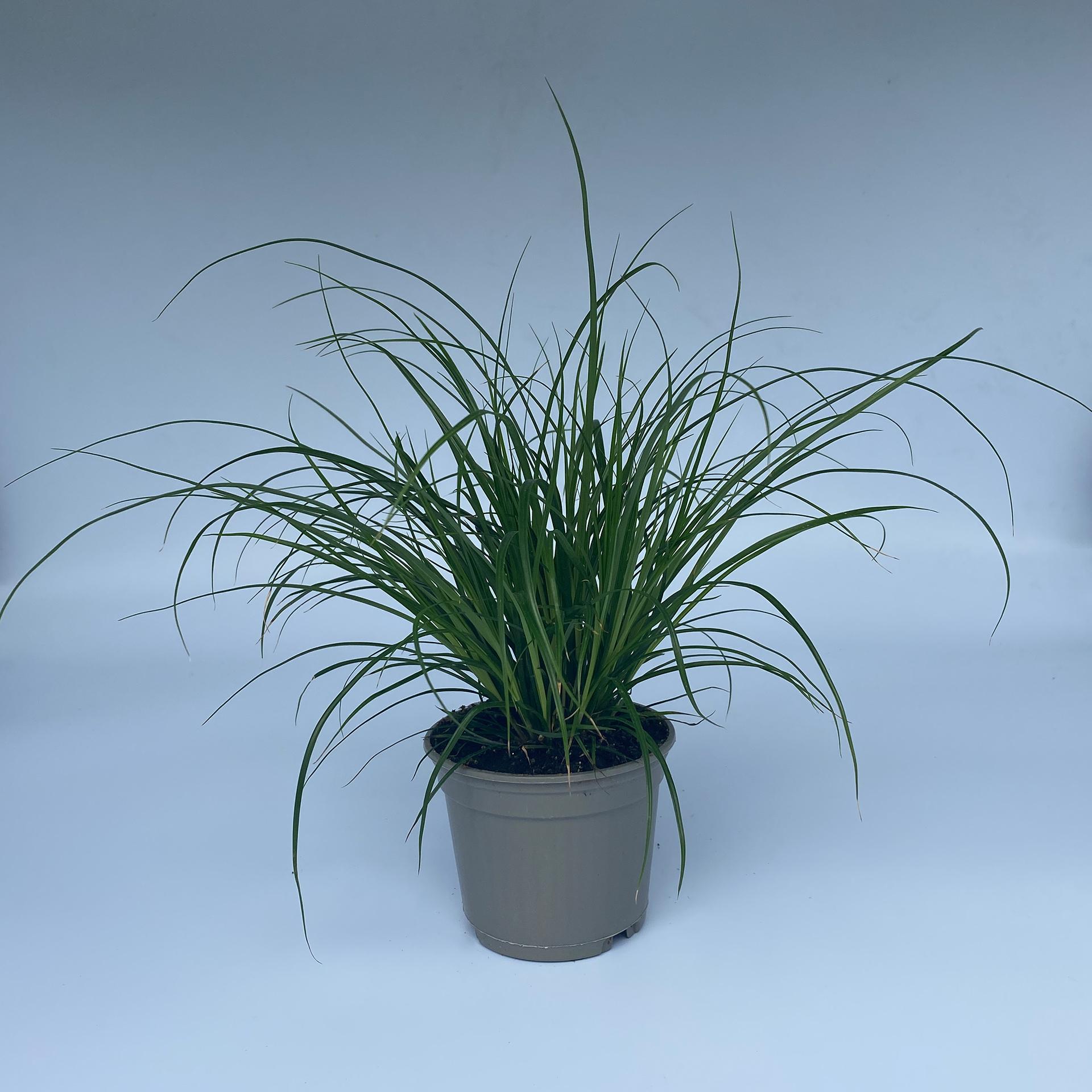 Bräunliche Segge - Carex brunnera, 9cm Topf