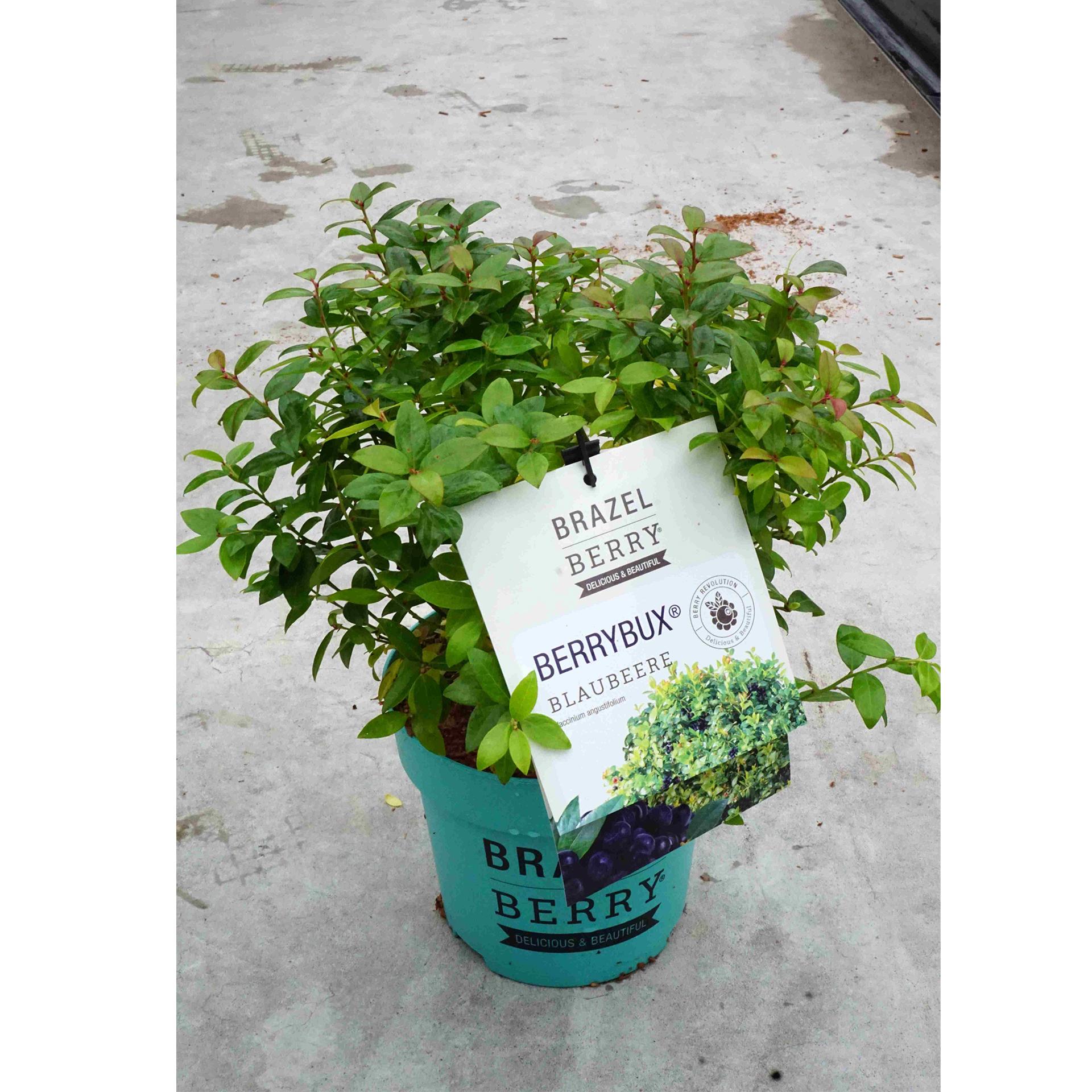 Heidelbeere - Vaccinium angustifolium BrazelBerry 'Berry Bux', C2,5 20-25cm