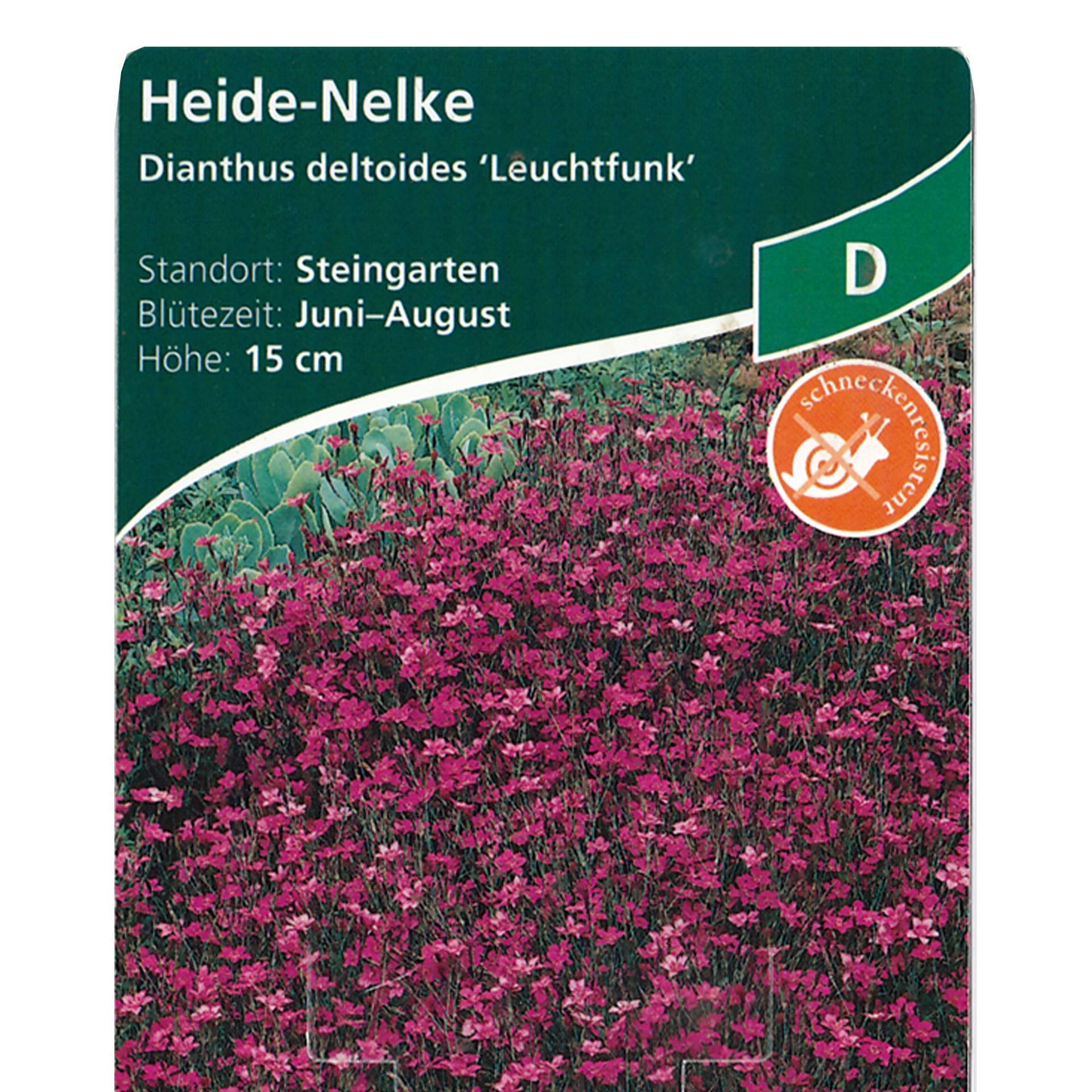 Heidenelke – Dianthus deltoides 'Leuchtfunk' rot, 11cm Topf