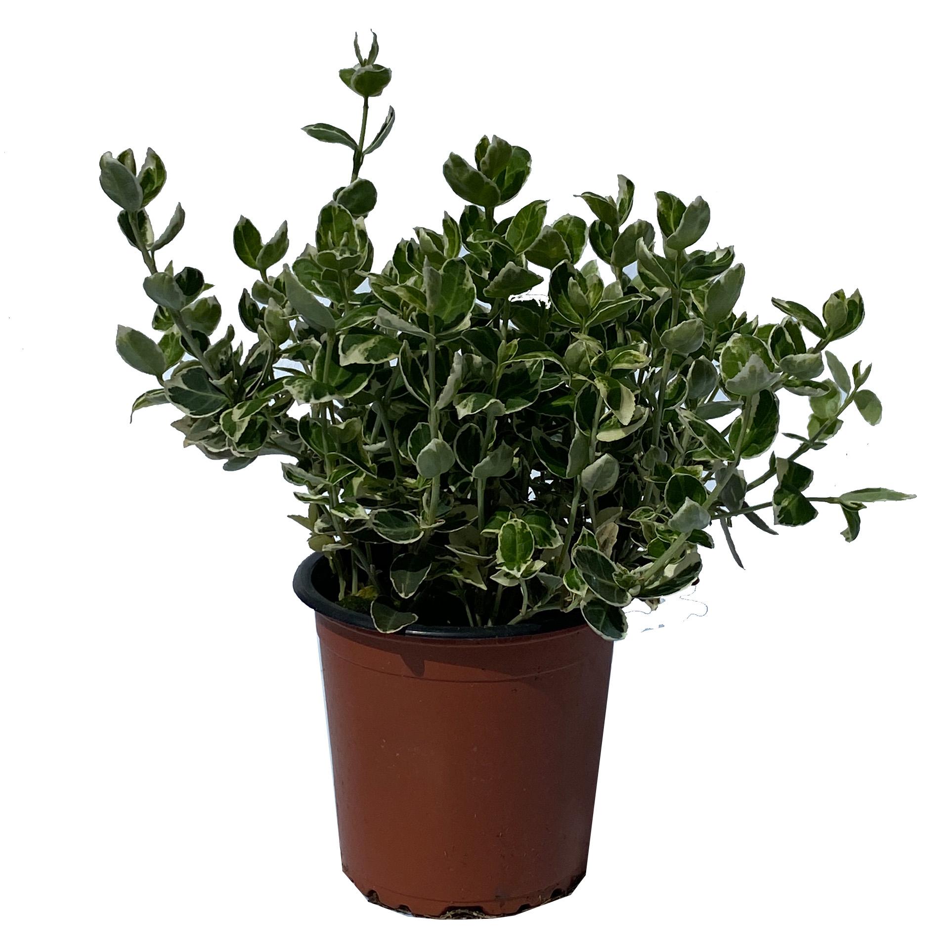 Kriechspindel - Euonymus fortunei 'Emerald Gaiety'