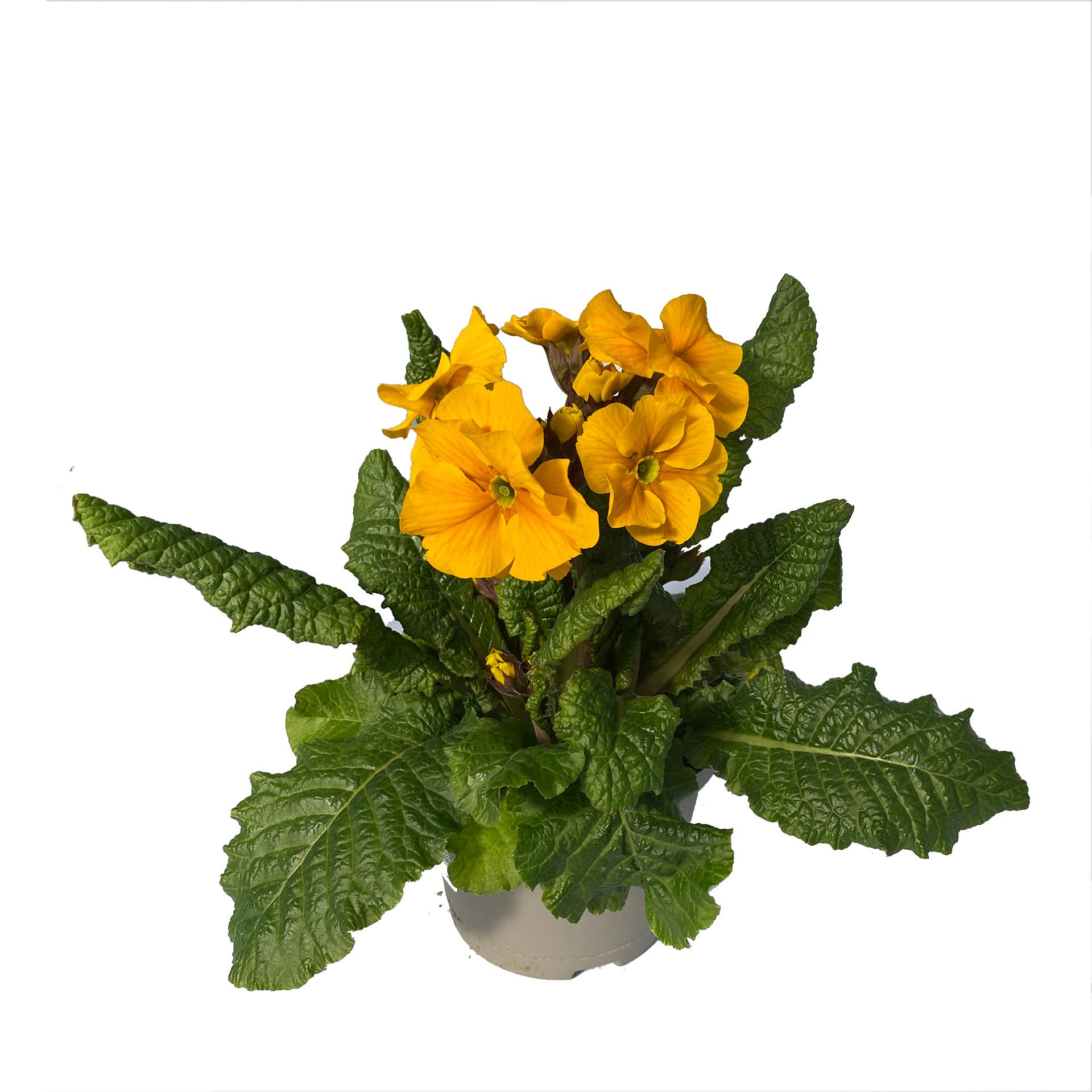 Hohe Schlüsselblume - Primula elatior, gelb, 12cm Topf